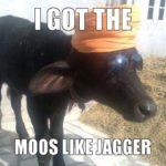 Moos like Jagger.